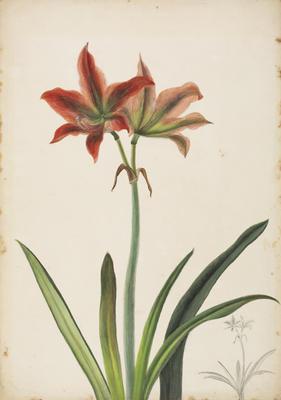 Amaryllis Aulica