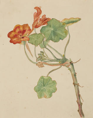Untitled (Nasturtium flowers)