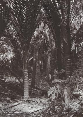 Nikau Palms (82)