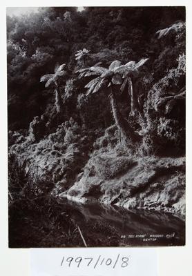 Tree-Ferns Wanganui River (86)