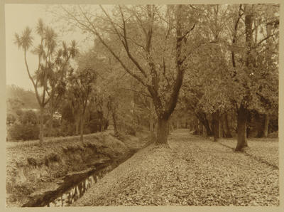 Untitled (path lined with trees)