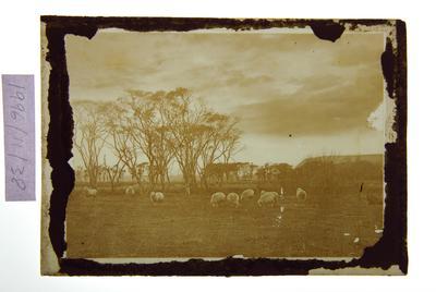 Untitled (sheep grazing) (opal type)