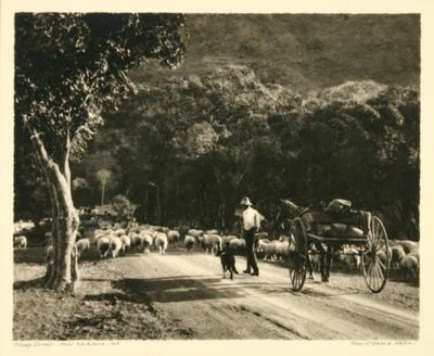 Sheep Drover - near Kaikoura - NZ