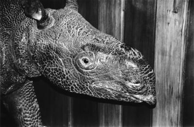 Peter Peryer; Java Rhinoceros, Canterbury Museum; 1997; 1998/15/5