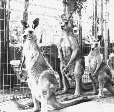 Kangaroos (Pennant Hills, Sydney)