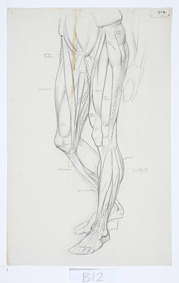 Untitled (Anatomical drawing)