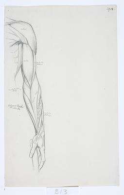 Untitled (Anatomical drawing)