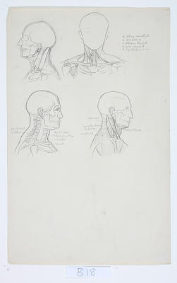 Untitled (Anatomical drawings)