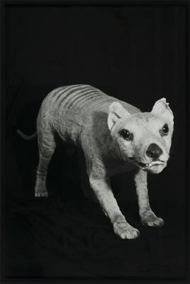 """A portion from the installation """"Ghost Train"""": (Tasmanian tiger)"""
