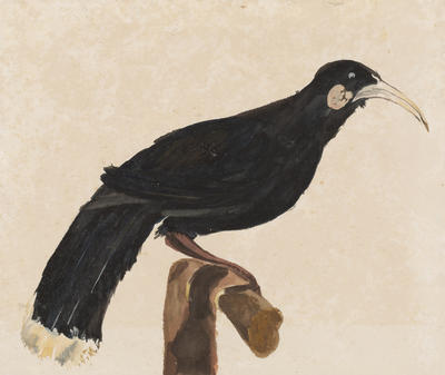 Untitled (Huia)