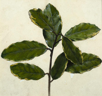 Vivian Smith; Untitled (Plant study); Unknown; 1988/27/644