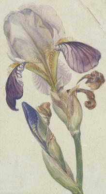 Vivian Smith; Untitled (Iris); Unknown; 1988/27/646