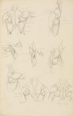 Vivian Smith; Untitled (Anatomical drawings); 1904?; 1988/27/540