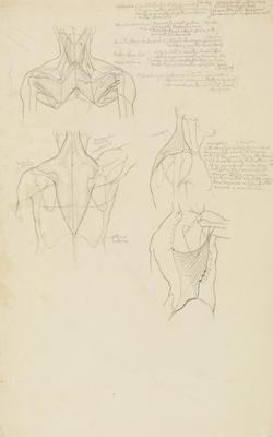 Vivian Smith; Untitled (Anatomical drawings); 1904?; 1988/27/541