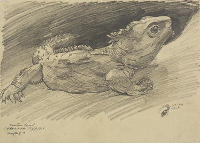 Vivian Smith; Untitled (Tuatara); 04 May 1917; 1988/27/503