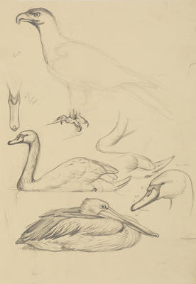Vivian Smith; Untitled (Eagle, swan and pelican); 1913-1917?; 1988/27/473