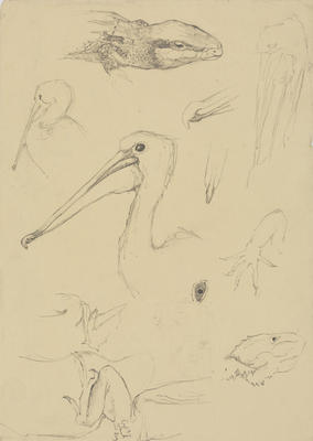 Untitled (Pelican and lizard studies)