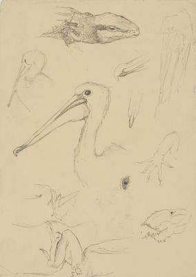 Vivian Smith; Untitled (Pelican and lizard studies); 1913-1917?; 1988/27/480