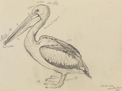 Vivian Smith; Untitled (Pelican); 1915; 1988/27/482