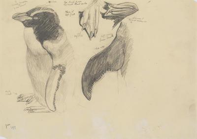 Vivian Smith; Untitled (Rockhopper penguin); Jan 1917; 1988/27/467