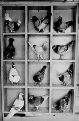 Untitled (Twelve Pigeons) - from the series 'Getting Together' 1984-1985