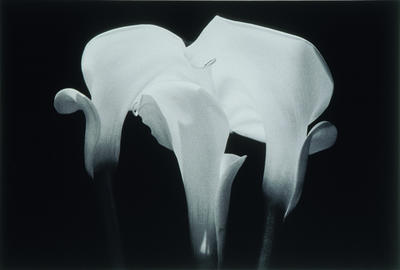 Untitled (Study of Lilies)