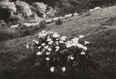 Sheep and lillies of the field, Jerusalem, 1982