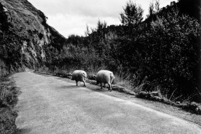 Pigs, Whanganui River Road, 1981