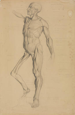 Untitled (Muscle study)