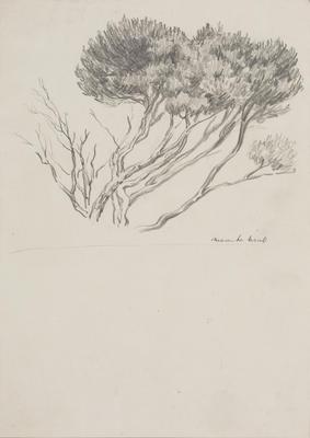 Vivian Smith; Untitled (Manuka tree); 1913-1917?; 1988/27/491