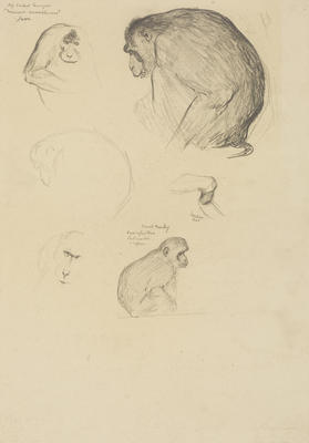 Vivian Smith; Untitled (Pig tailed macaque and vervet monkey); 1913-1917?; 1988/27/463