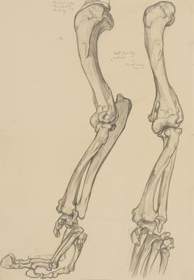 Vivian Smith; Untitled (Leg bones); 1913-1917?; 1988/27/458