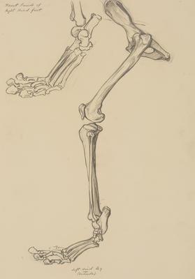 Vivian Smith; Untitled (Leg bones); 1913-1917?; 1988/27/459