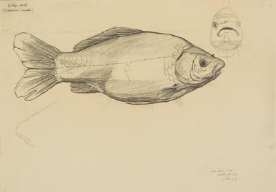 Vivian Smith; Untitled (Golden carp); 01 Oct 1912; 1988/27/457