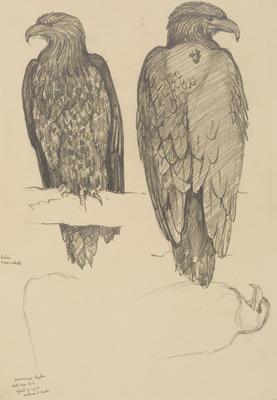 Vivian Smith; Untitled (American eagle); 18 Apr 1914; 1988/27/452