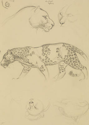 Vivian Smith; Untitled (Leopard); 1913-1917?; 1988/27/437