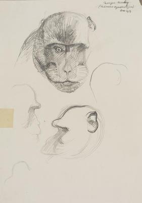 Vivian Smith; Untitled (Macaque monkey); Dec 1913; 1988/27/424