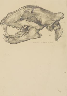 Vivian Smith; Untitled (Skull); 1913-1917?; 1988/27/421