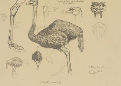 Vivian Smith; Untitled (Ostrich); Jun 1913; 1988/27/415