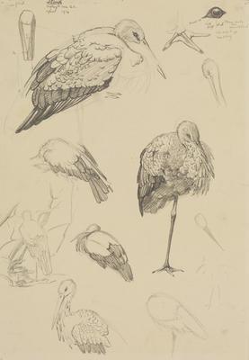 Vivian Smith; Untitled (Stork); Apr 1914; 1988/27/413