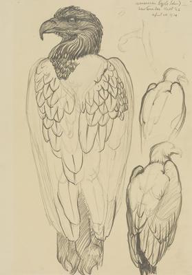 Vivian Smith; Untitled (American eagle); 26 Apr 1914; 1988/27/410