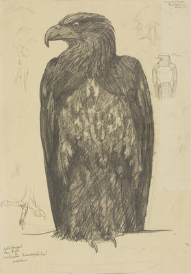 Vivian Smith; Untitled (Bald headed sea eagle); 14 May 1914; 1988/27/409