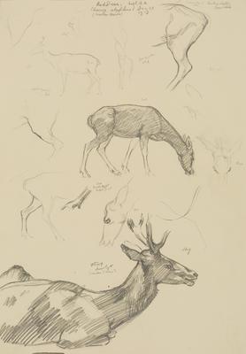 Vivian Smith; Untitled (Red deer); Dec 1913; 1988/27/408