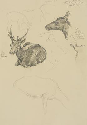 Vivian Smith; Untitled (Red deer); 05 Jan 1914; 1988/27/407