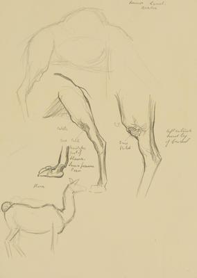 Vivian Smith; Untitled (Common camel and llama); 1913?; 1988/27/402