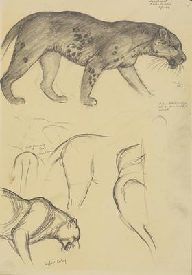 Vivian Smith; Untitled (Leopard); 1913-1917?; 1988/27/394