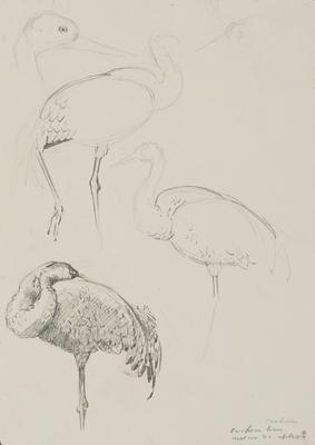 Vivian Smith; Untitled (European crane); 01 Apr 1914; 1988/27/446