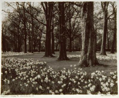 Daffodils - Hagley Park, Christchurch