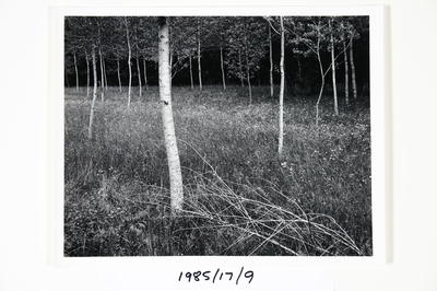 Trees near Bourdeilles, France 1984