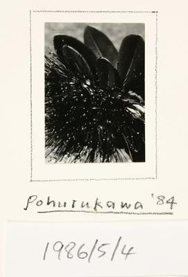 Pohutukawa '84